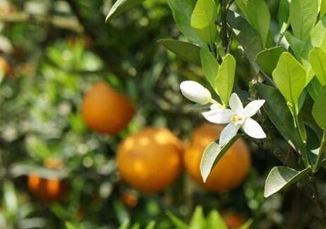 金堂三溪镇脐橙产业示范基地