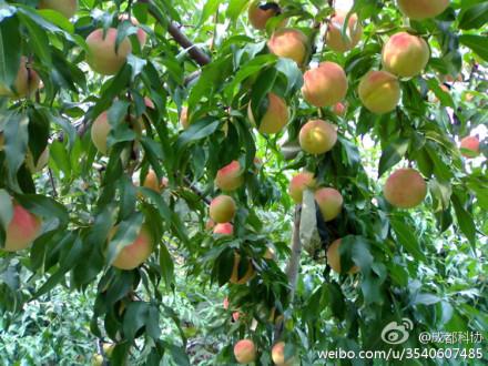 龙泉驿长松有机水蜜桃基地